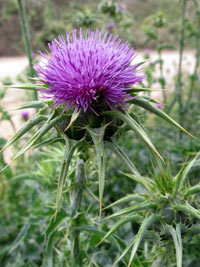 silymarin, milk thistle